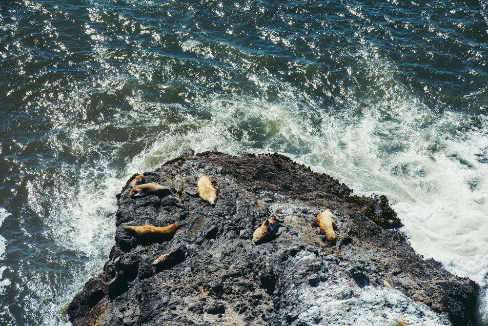 sea lions Pacific Northwest Gregory Nolan