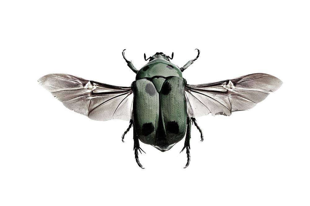 Heterorrhina sexmaculata
