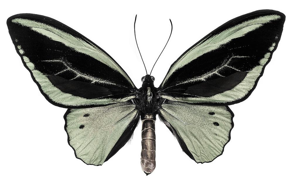Ornithoptera priamis