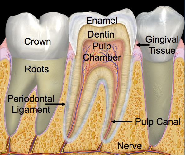 Posterior (Back) Tooth Parts