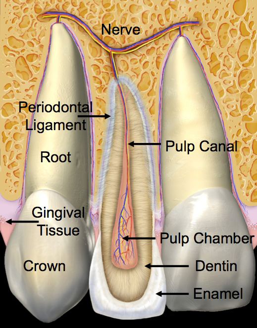 Anterior (Front) Tooth Parts