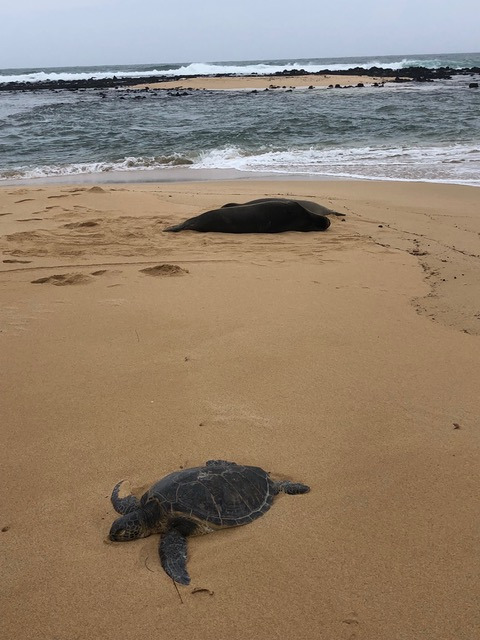 Two for one: monk seals in the background, sea turtle in the foreground. What a treat!!