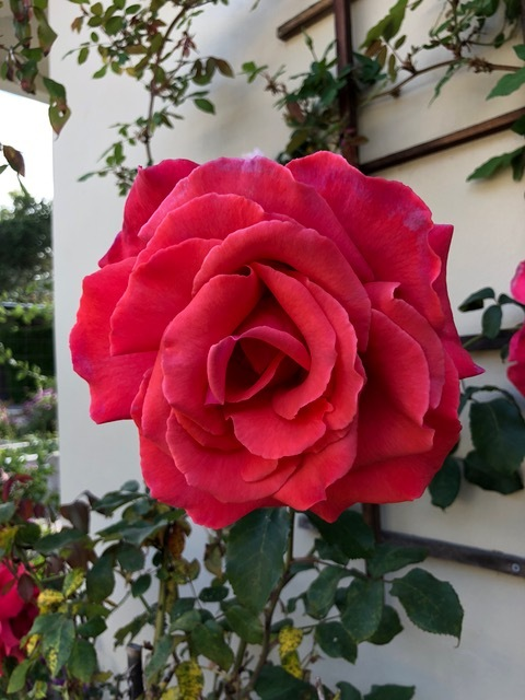 What's not to love about spring flowers? And in California, roses are super-blooming after their very wet winter.