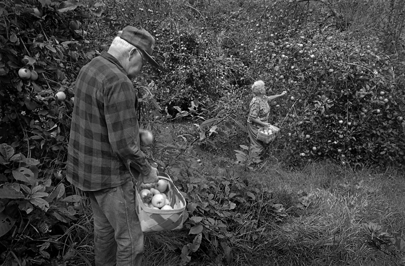Howard and Lucille Babbitt picking apples from their orchard for the last time, Sprinkle Creek