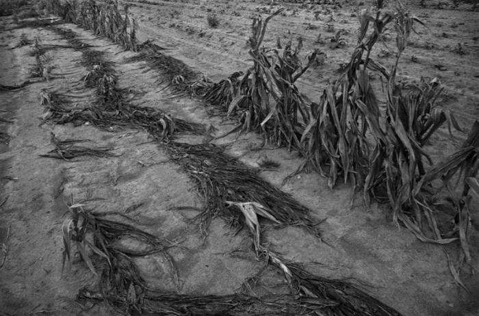 Drought-stricken Corn, Eastern North Carolina, 1986