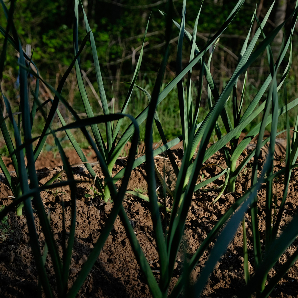 Garlic in our Garden, PawPaw, 2014.