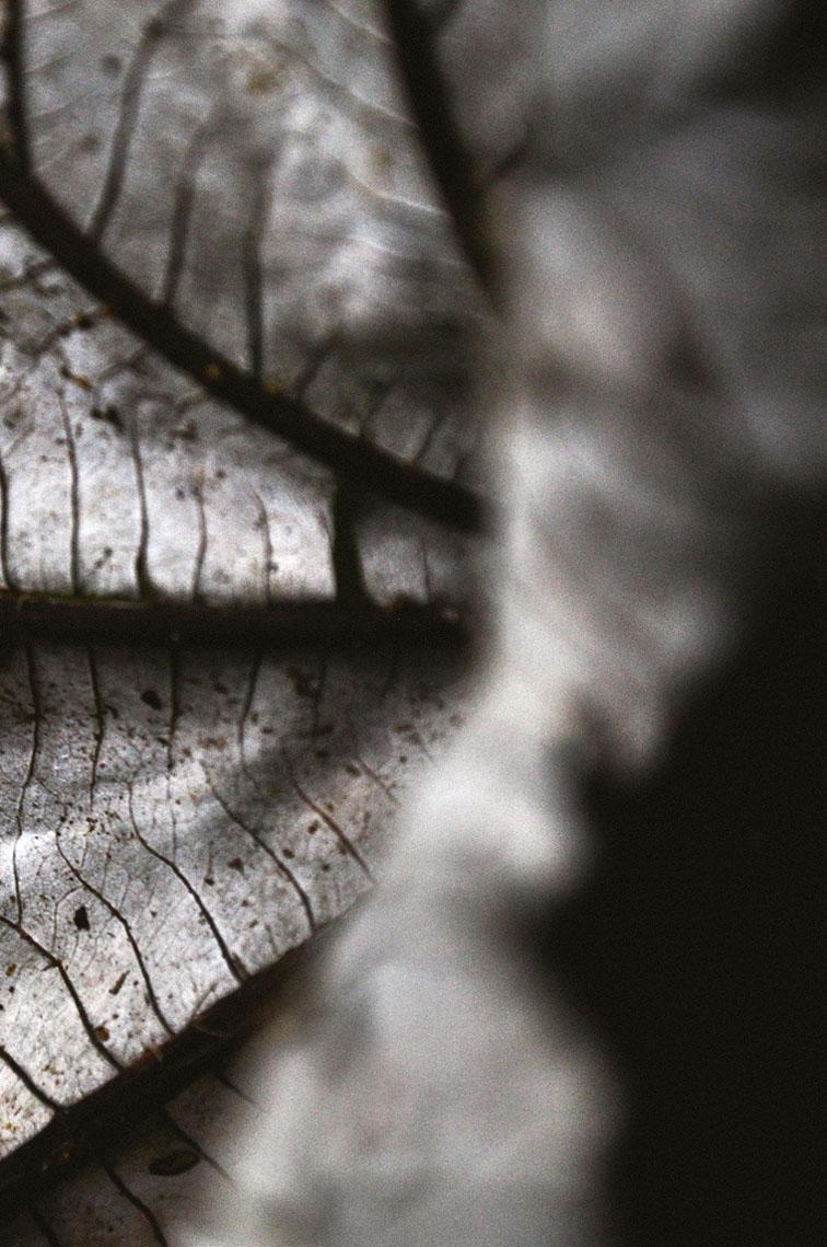 yagrumo-leaf.jpg