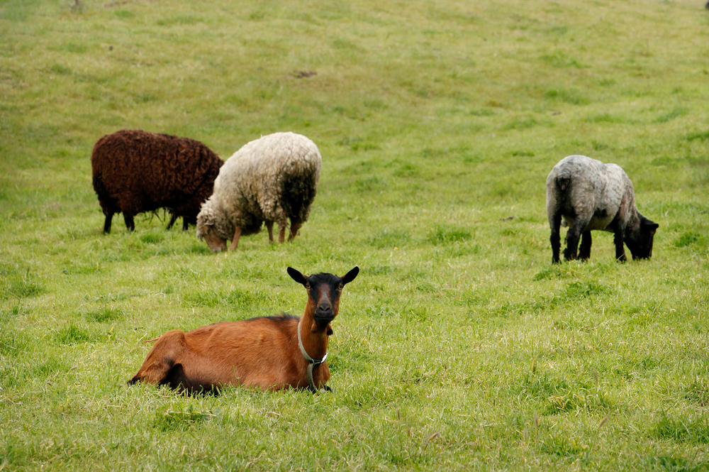 cropped sheep goats in pasture.jpg