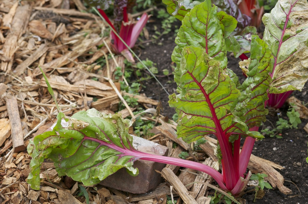 Rhubarb at Slide Ranch - June 2014.jpg