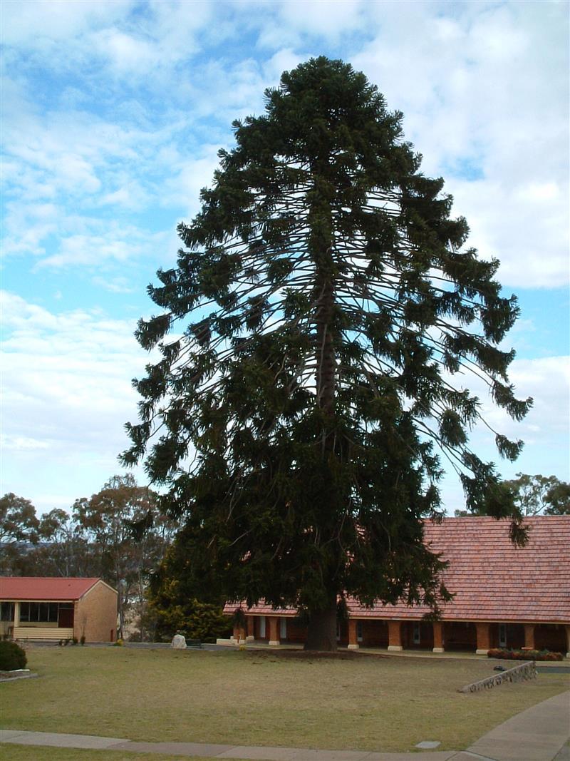 私が1990年から4年間通ったオーストラリアの全寮制中高一貫校のシンボルツリー。 卒業後10年ぐらいして訪問した際に撮影した写真ですが、学校名が変わっていて、有名校の分校になっていました。 私の今の基礎が創られた時期かもしれません。