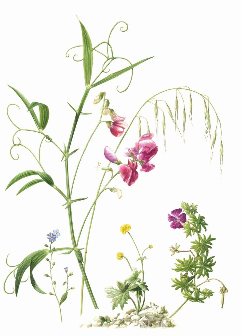 "Summer French Mixed Flowers    Lathyrus linifolins montanus - Bitter Vetch  Bromus tectorum - Cheatgrass  Geranium sanguineum - Blody Cranesbill  Ranunculus acris - Meadow Buttercup  Myosotis arvensis - Field forget-me-not      Watercolour  11"" x 16"""