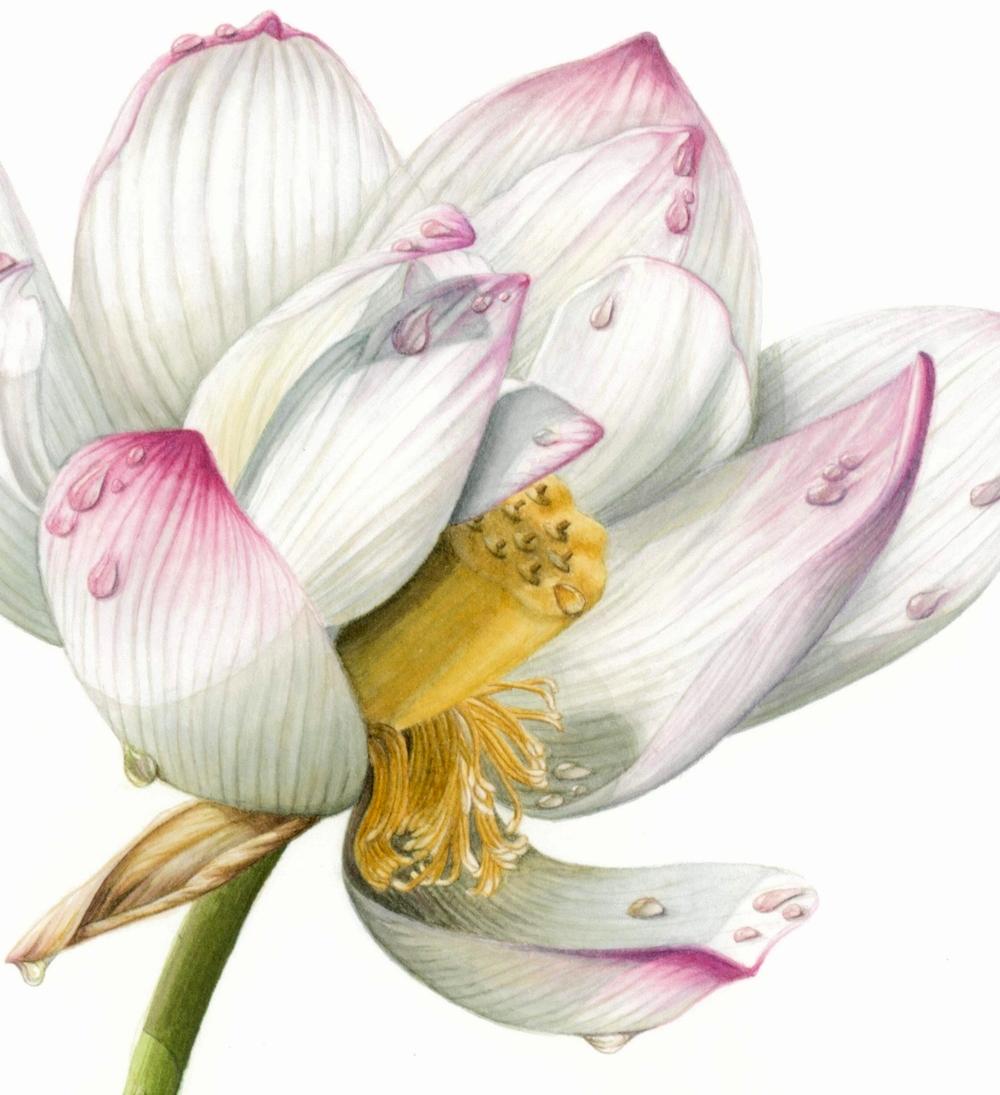 lotus_sml3.JPG