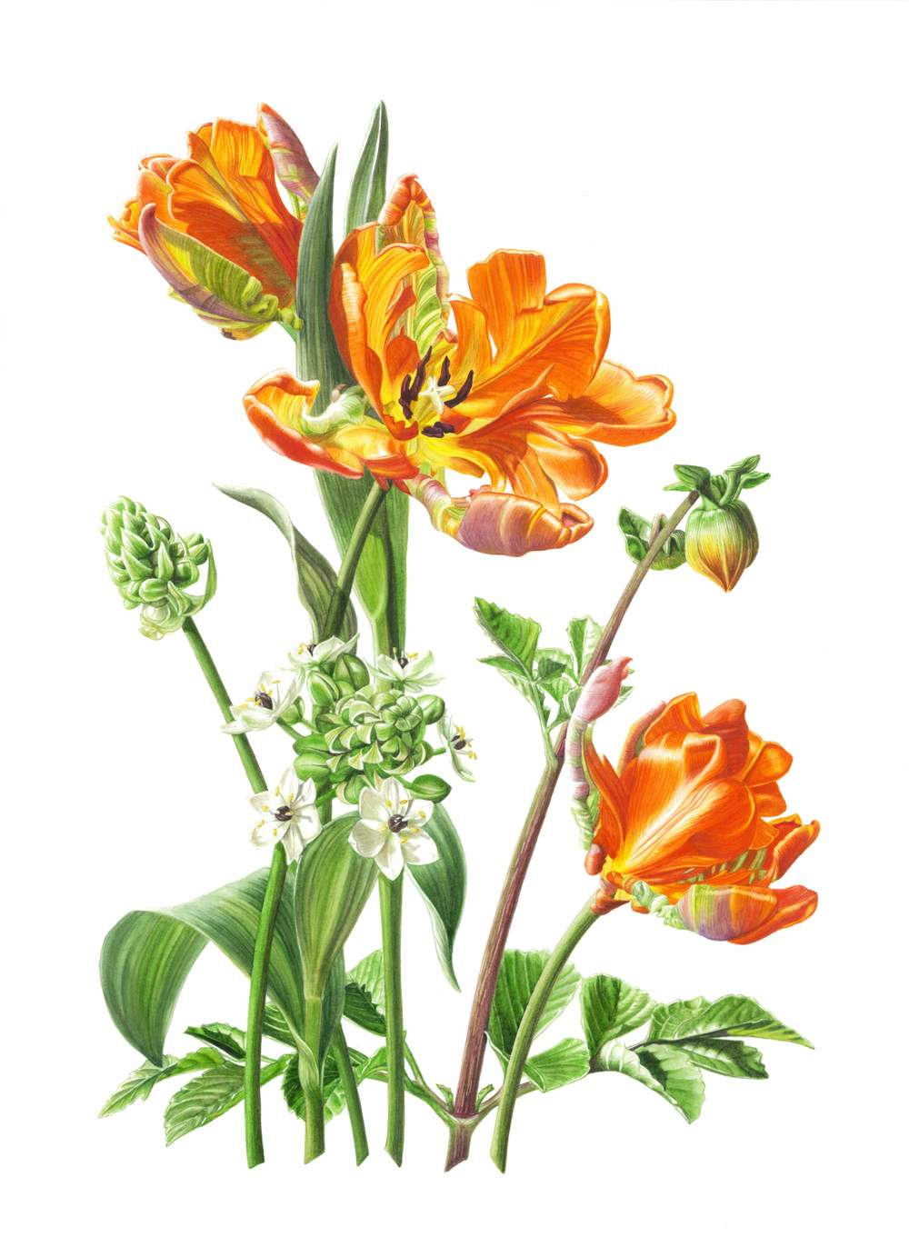 "Tulipa 'Rococo'  - Parrot Tulip Rococo Ornithogalum arabicum  - Arabian Star Flower Dahila x hybrida var. unknown  -Miniature Orange Dahila Watercolour 11"" x 16"""