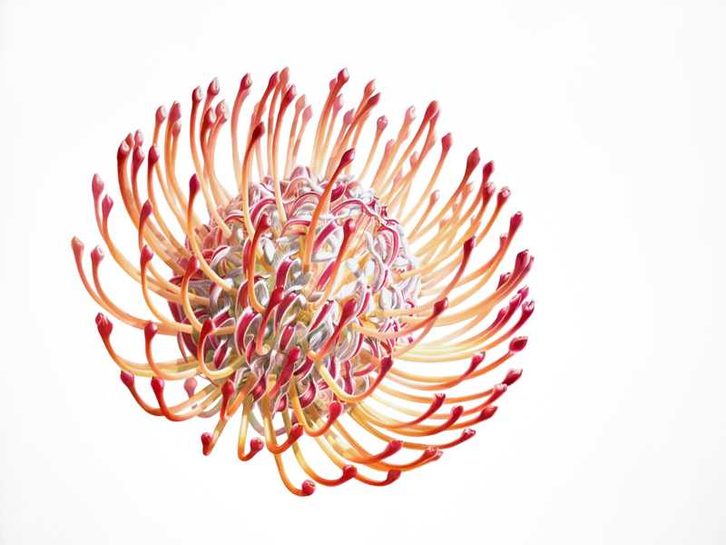 "Denise Ramsay,  F I R E W O R K S .   Protea.  Watercolor on paper,  46"" x 48"" - 117cm x 122cm  unframed."