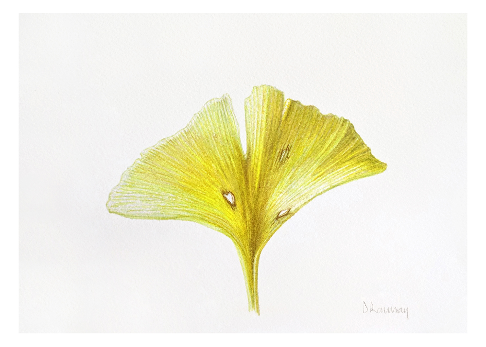 Ginko -sold