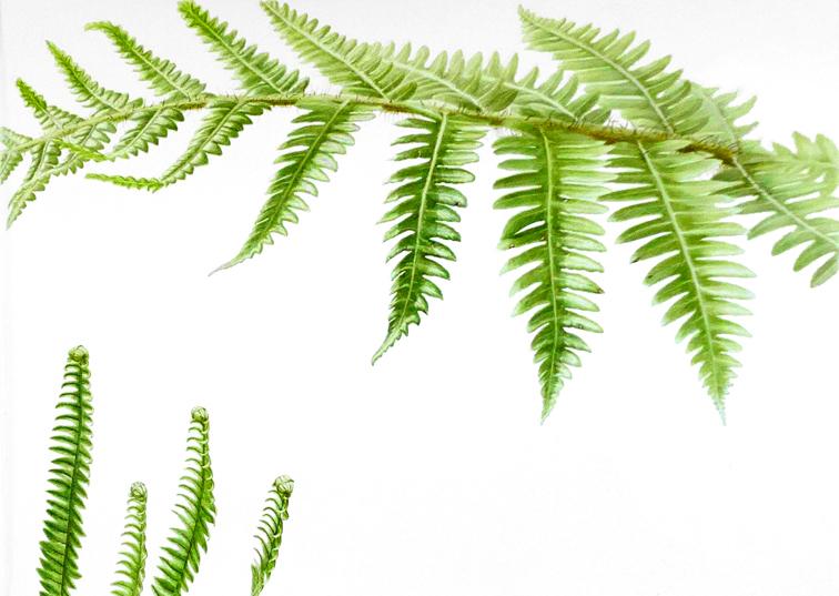 NZ Ferns diptych 2/2.  SOLD