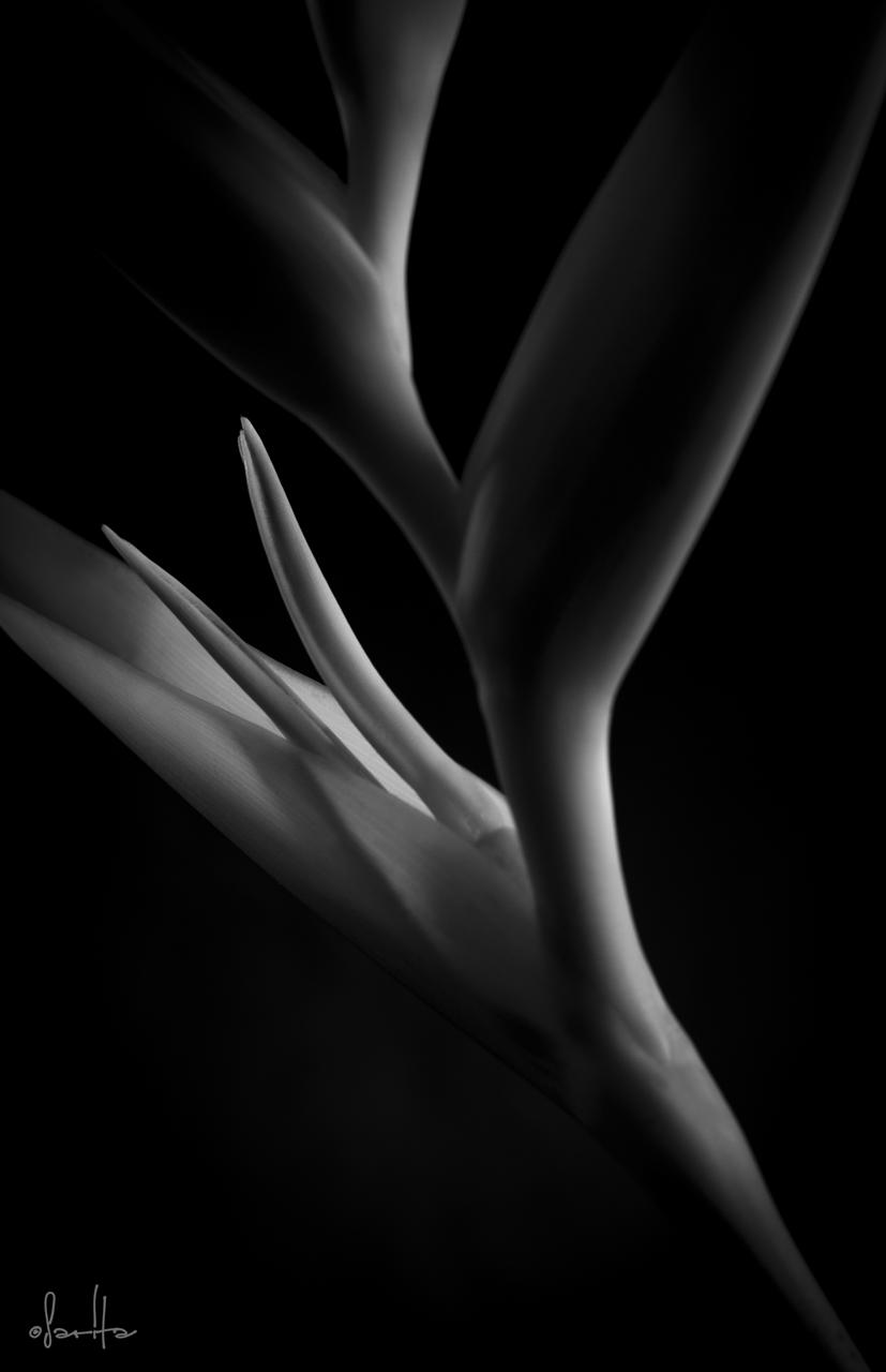 Heliconia Nudist B&W.jpg