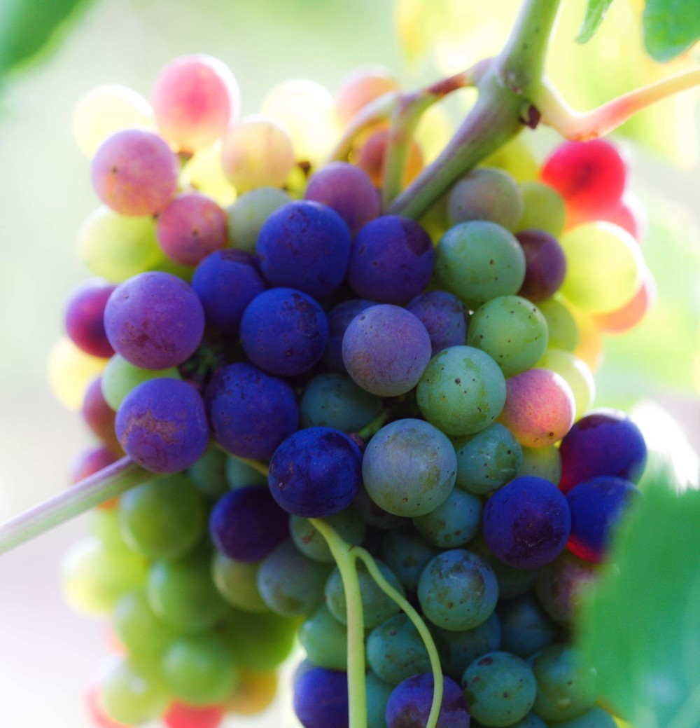 Grapes once verasion is in full swing.