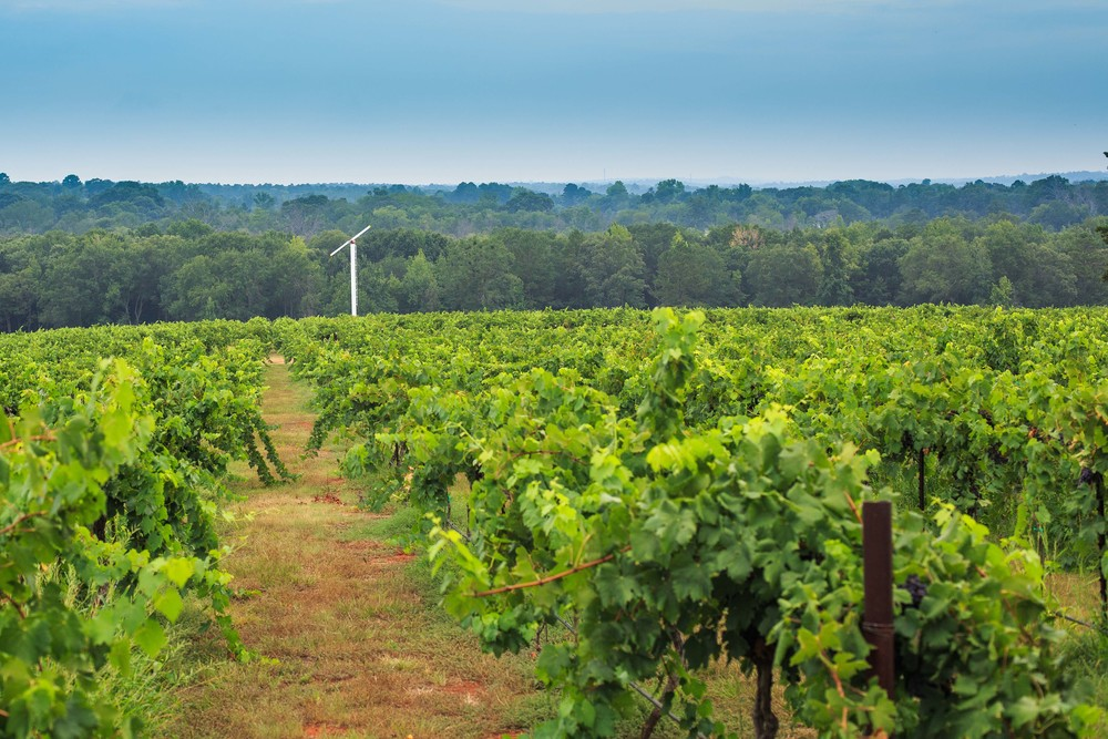 Vineyard with View of Wind Machine