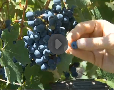 blog_wine_kltv_harvest.jpg