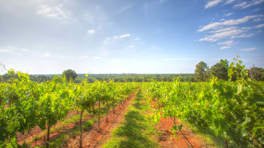wide_angle_vineyard_view_kiepersol.jpg