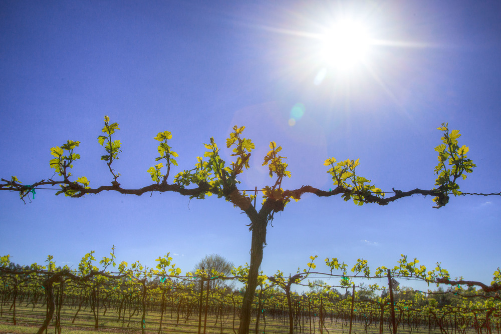 kiepersol_vineyard_march_2016.jpg