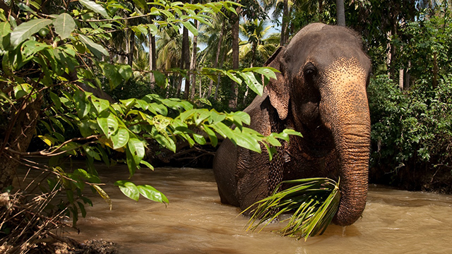 Bathing Elephant