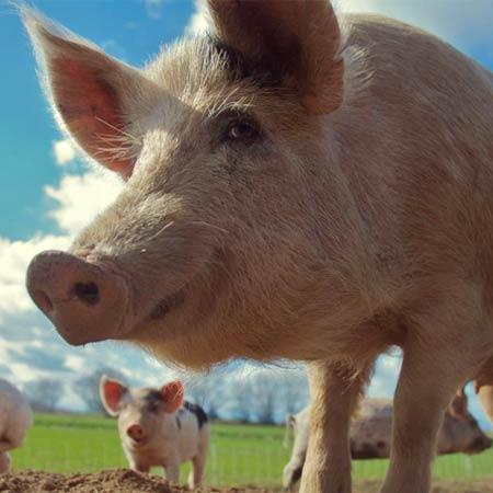 grow-pigs.jpg