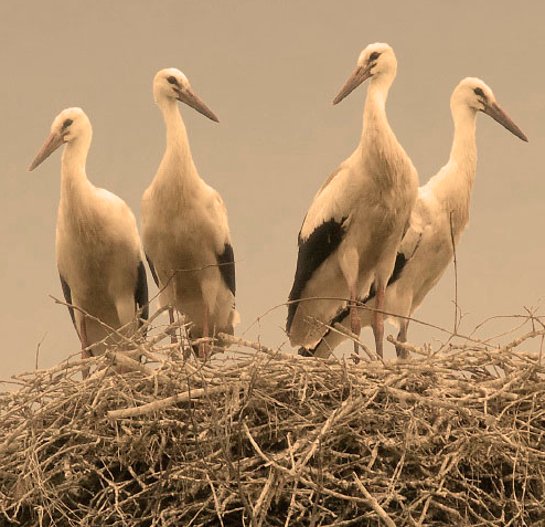 Square Storks 175-5.jpeg