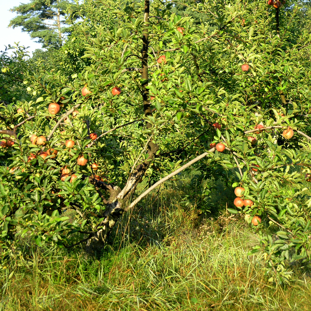 APples and understory grasses.jpg