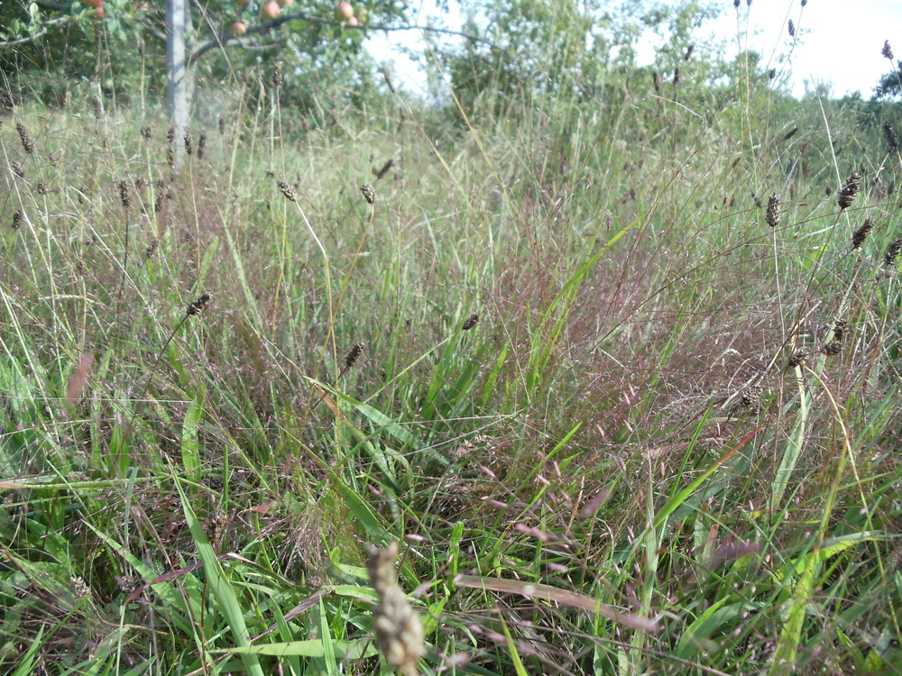Purple Love-grass