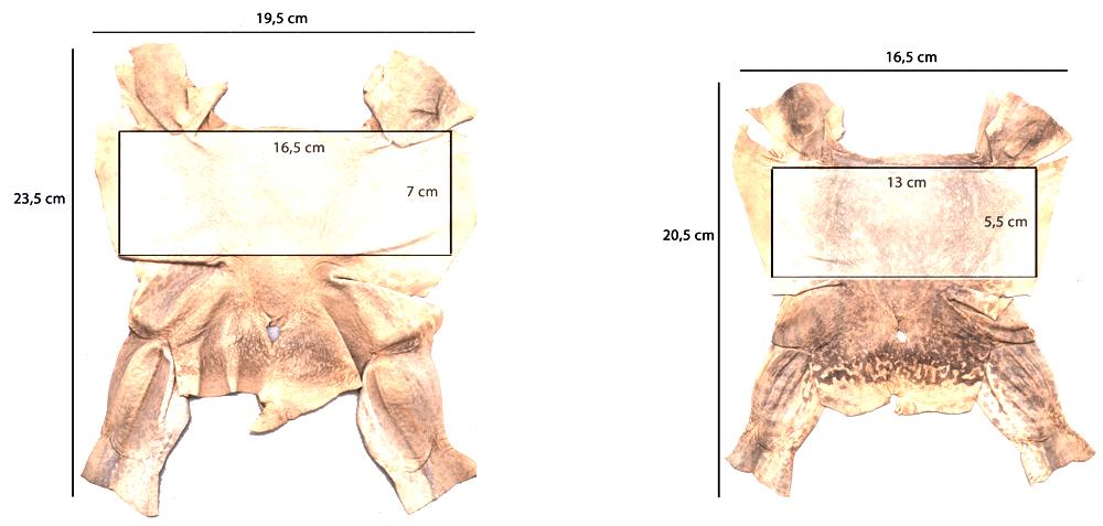 Couro de rã: variação possível de tamanho dentro do mesmo pedido (2015).