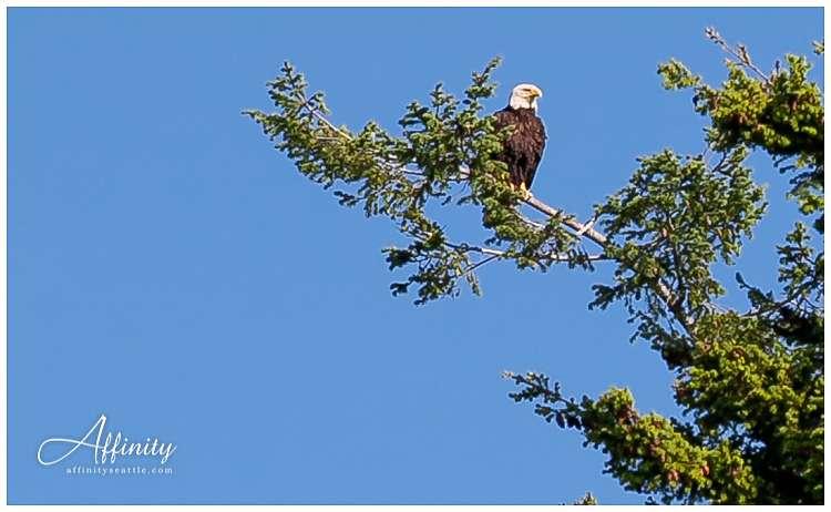 013-eagle-in-tree-orcas-island.jpg
