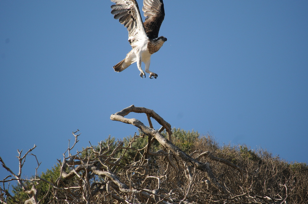 An Osprey launches itself into flight.