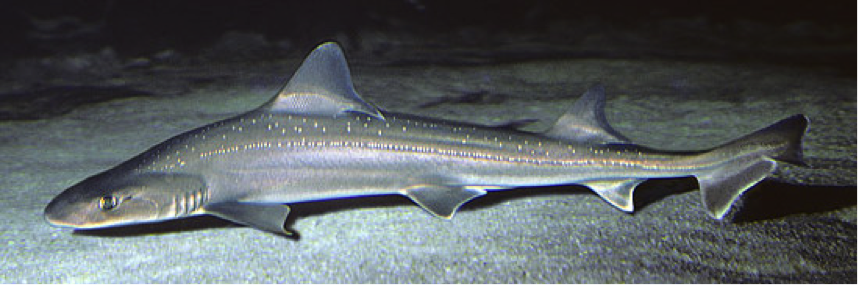 The slender gummy shark is often seen both exploring and resting along the sandy ocean floor.