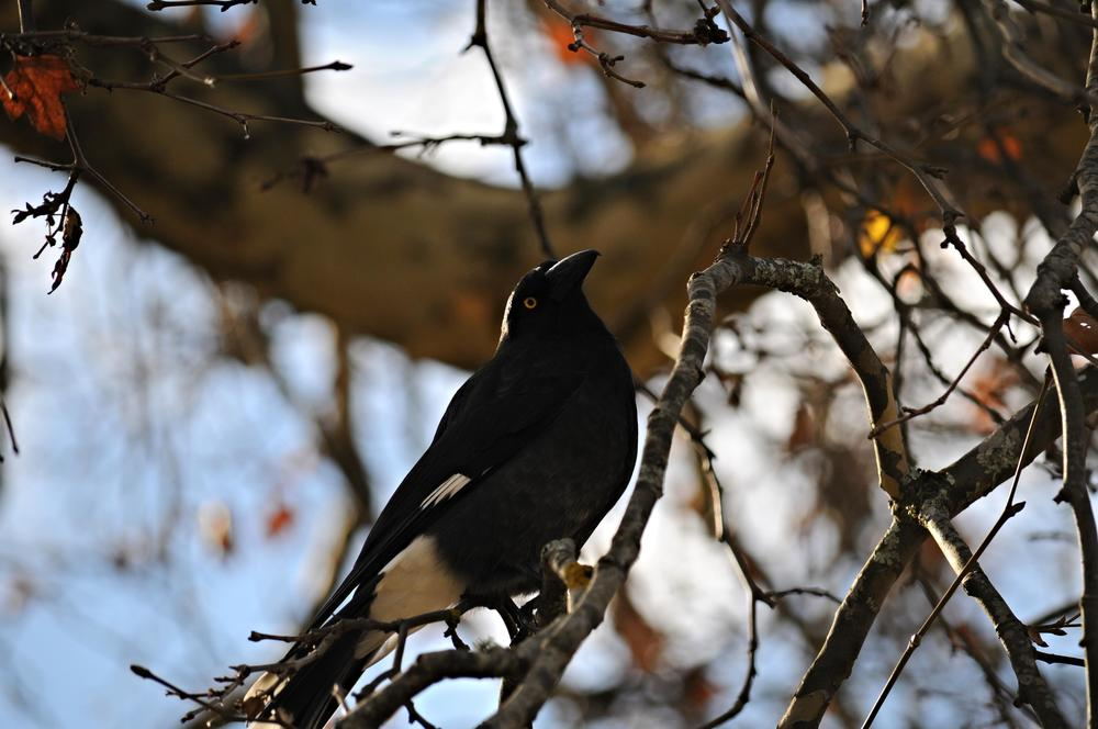 Pied Currawong in Marysville. These birds can be found throughout Melbourne as well.