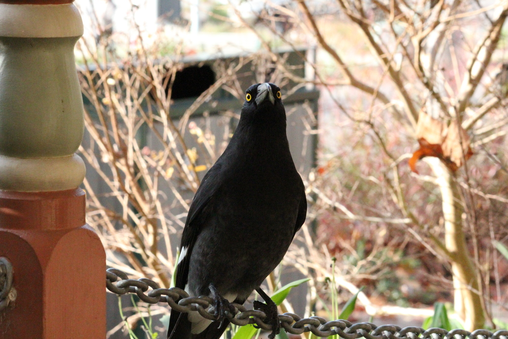 These birds have adapted well to human settlement and are always on the lookout for an easy meal.