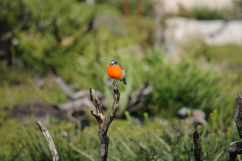 The striking breast of the Flame Robin ( Petrioca phoenicea )  stands out in this land of pale, deep greens.