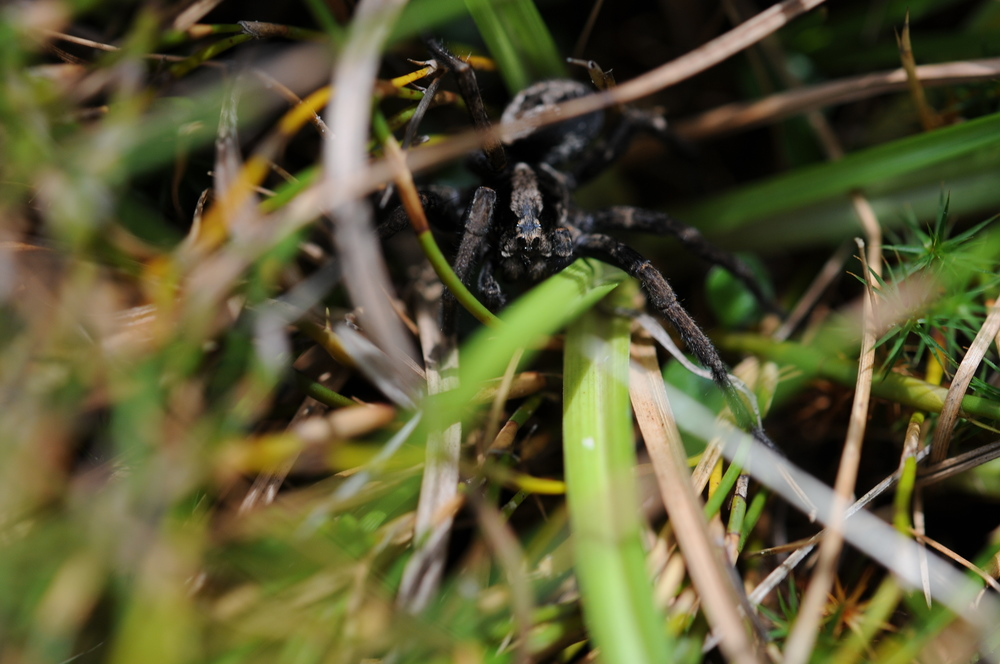 A Wolf Spider ( Lycosa ) stalks the alpine grasses.