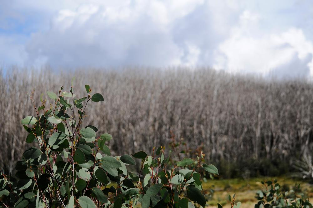 A snow gum ( Eucalyptus paucilflora ) sapling grows resiliently in the foreground. In the background the devastation of the 2009 fires can be seen in the bare white trees that sprawl across the landscape.