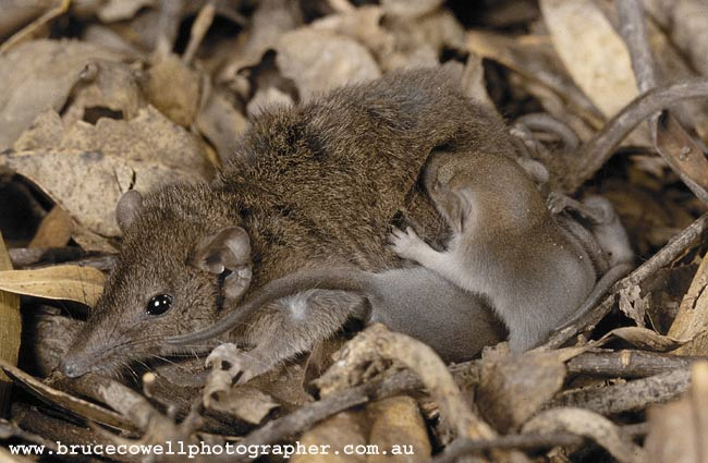 Agile Antechinus (Antechinus agilis ) and young. Image: Bruce Cowell (www.brucecowellphotographer.com.au)