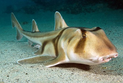 A Port Jackson Shark. Photo: The Age Newspaper