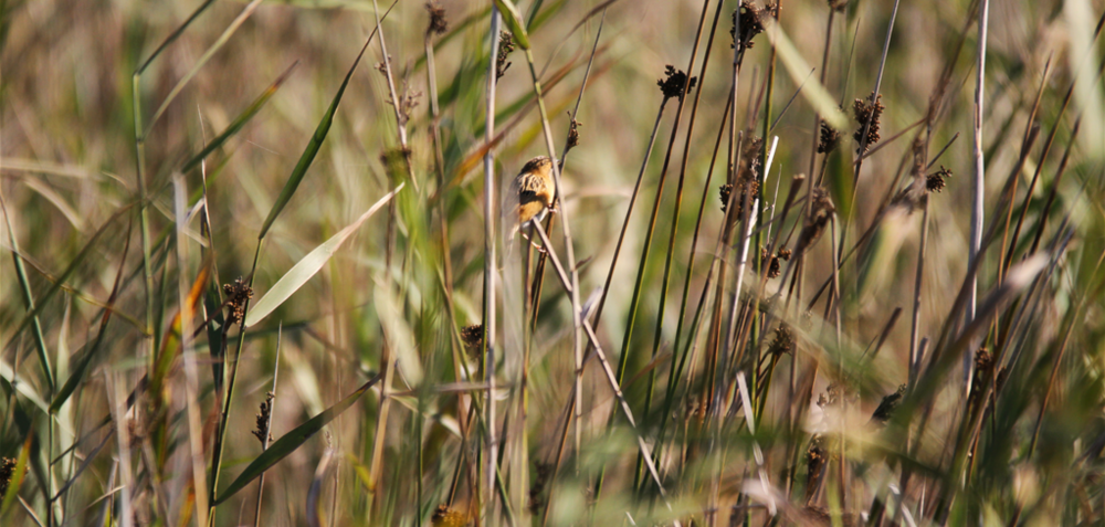 A Golden-headed Cisticola ( Cisticola exilis ) retreats into the marsh upon being disturbed.