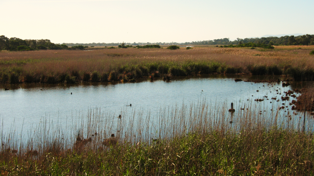 Although only a small remnant of the past 52 square kilometre Carrum Carrum Swamp, the Seaford Wetland Reserve is still significantly large, covering approximately 158 hectares.