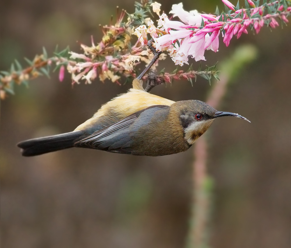 An Eastern Spinebill enjoying the nectar of the Common Heath. Image Credit:   http://en.wikipedia.org/wiki/Epacris_impressa