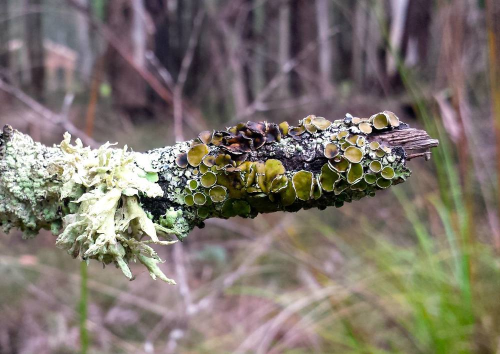 Flavoparmelia sp. (right hand side) and unidentified Lichen spp. Trentham.