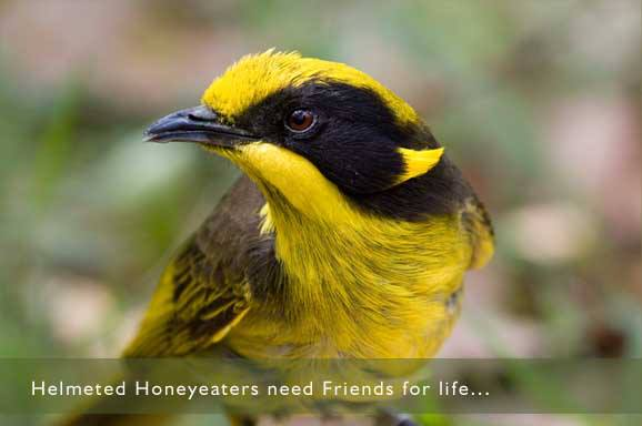 Credit: https://www.facebook.com/pages/Helmeted-Honeyeater/1408866722662521