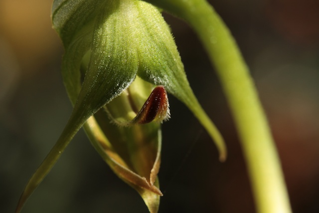 Pterostylis-nutans-Nodding-Greenhood-Cows-Horns-Parrots-Beak-Orchid-111.jpg