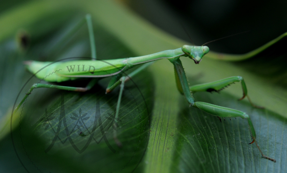 An Australian praying mantis ( Orthodera ministralis ) found in Melbourne