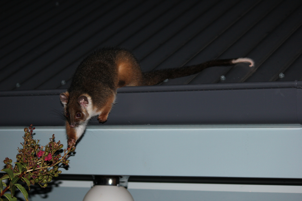 Common RIngTail possums are found throughout Melbourne's Green spaces (Photo: Emma Walsh)